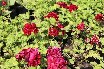 """Pelargonium peltatum  """"Ivy red"""""""