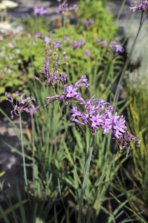 Tulbaghia violacea  (Wild Garlic)