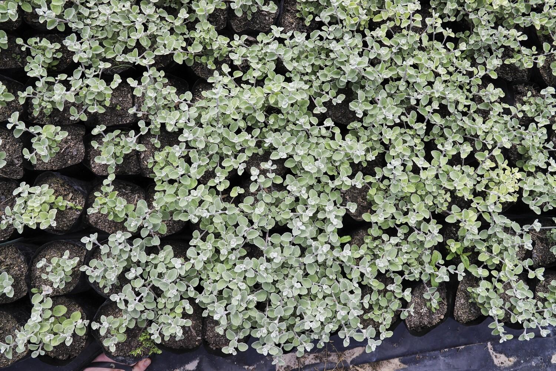Helichrysum petiolare  (Kooi goed)