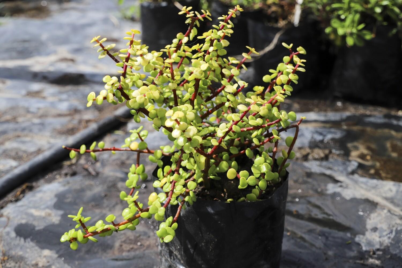 Portulacaria afra aurea  (spekboom)