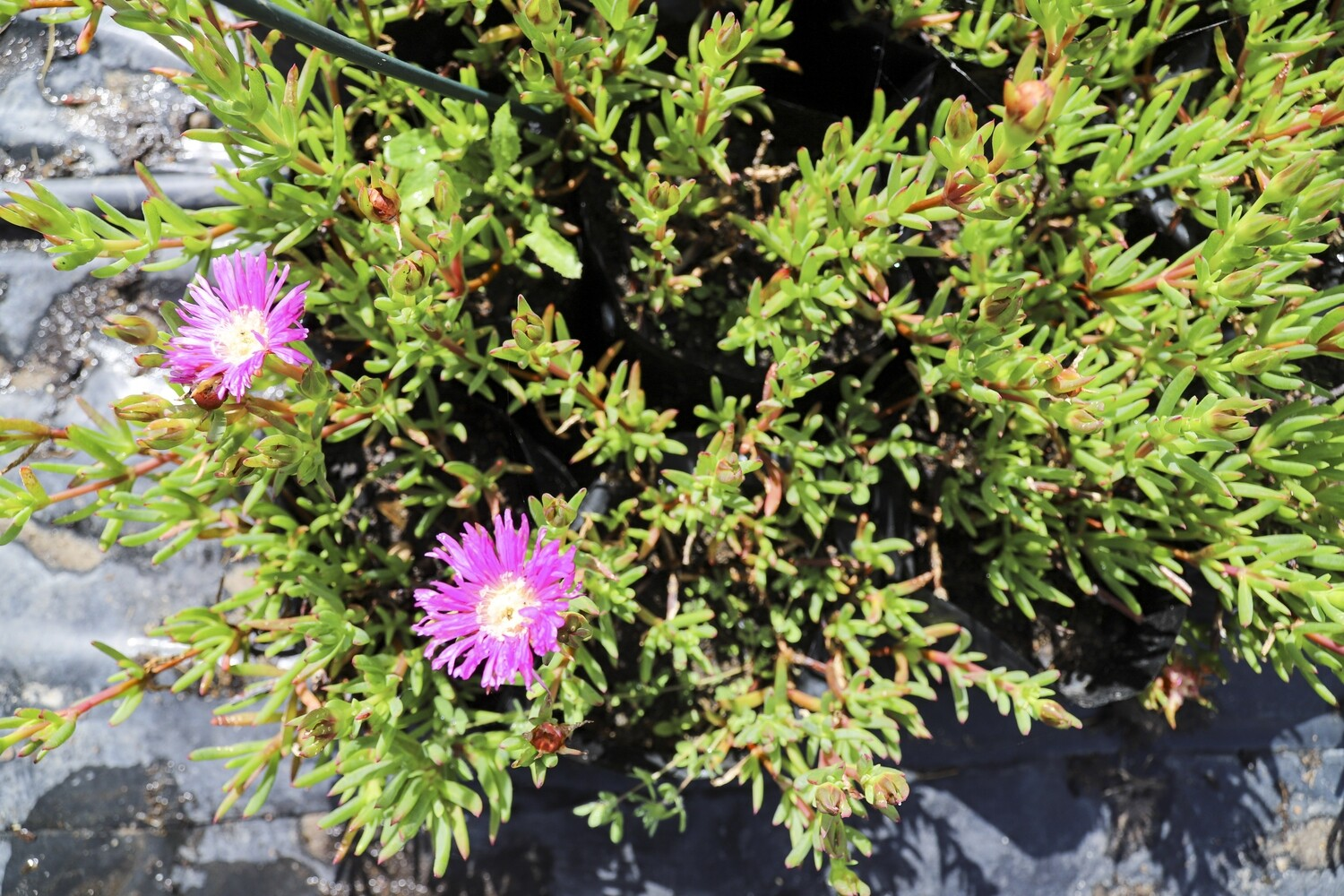 """Lampranthus spectabilis  (Iced vygie)  """"Pink"""""""