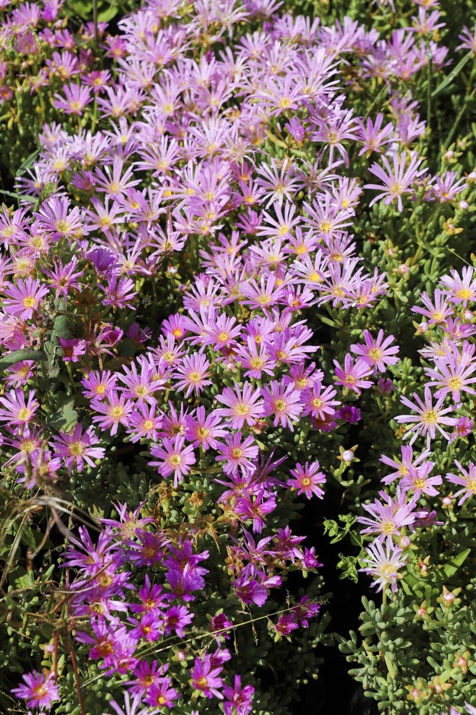 Lampranthus spp Pink  (Pink vygie)