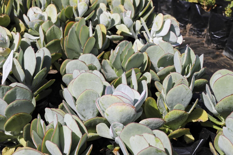 "Cotyledon orbiculata  ""Grey"""