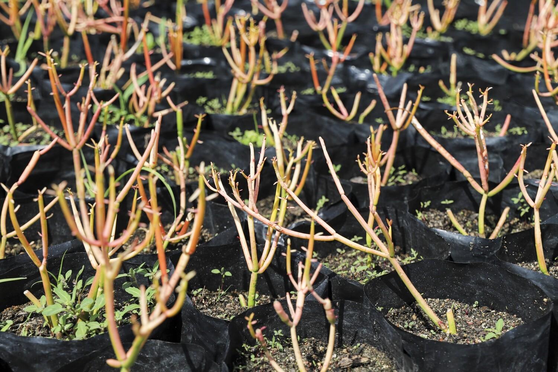 "Euphorbia tirucalli  ""Firesticks"""