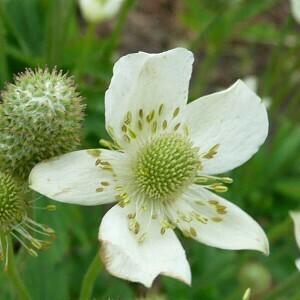 Tall Anemone (Anemone virginiana)
