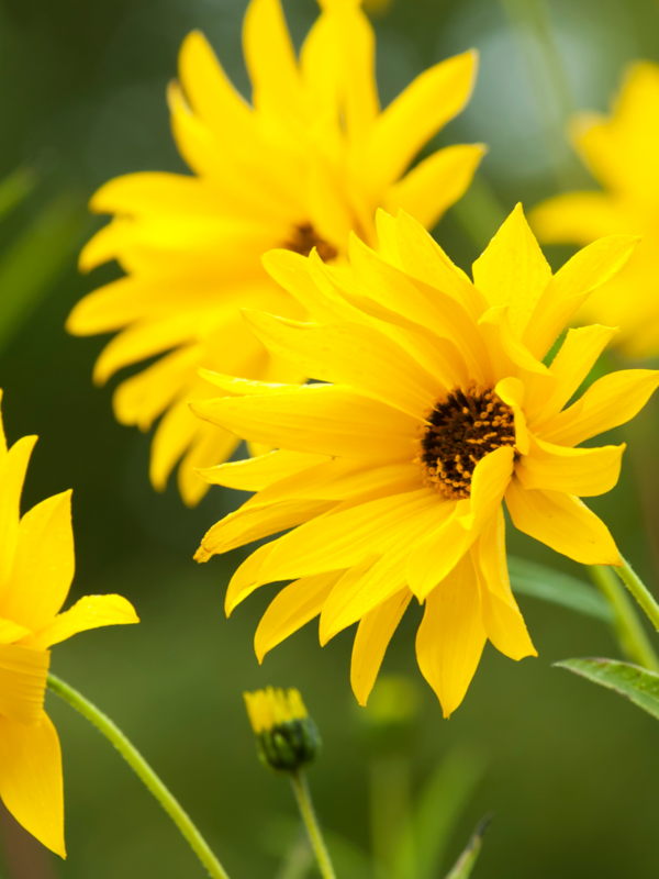 Showy Sunflower (Helianthus pauciflorus)