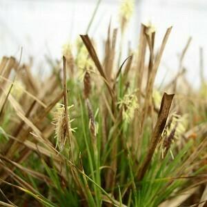 Common Oak Sedge/Pennsylvania Sedge (Carex pensylvanica)