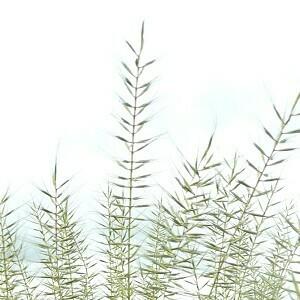 Bottlebrush Grass (Elymus hystrix)