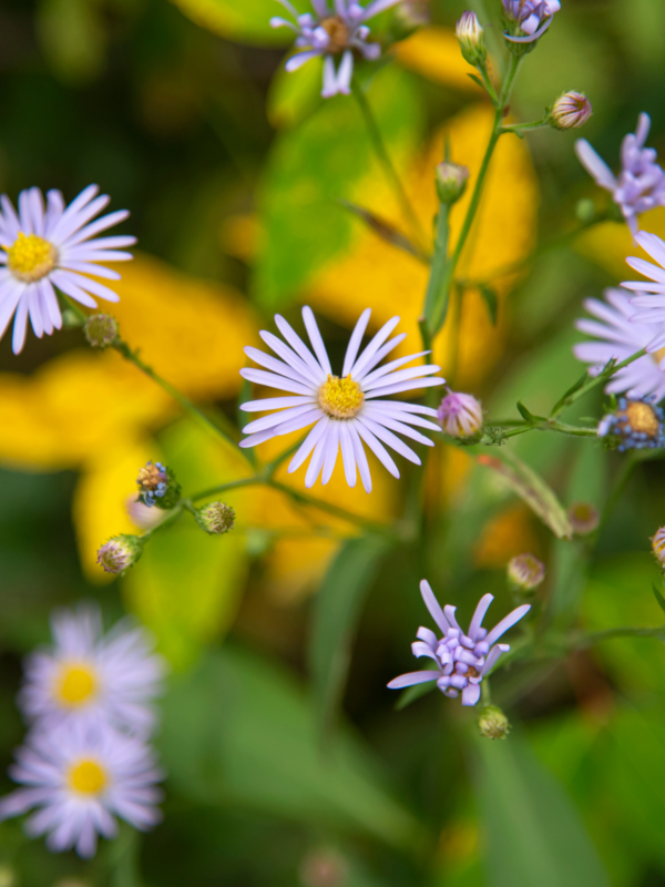 Smooth Blue Aster (Symphyotrichum laeve)