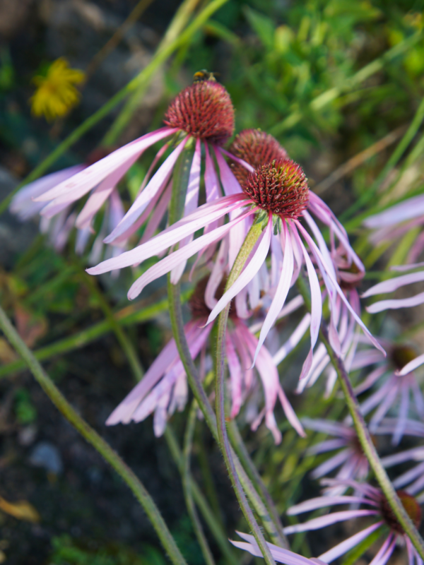 Pale Purple Coneflower (Echinacea pallida)