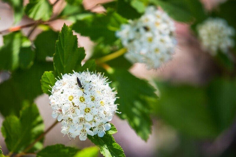 Common Ninebark (Physocarpus Opulifolius)