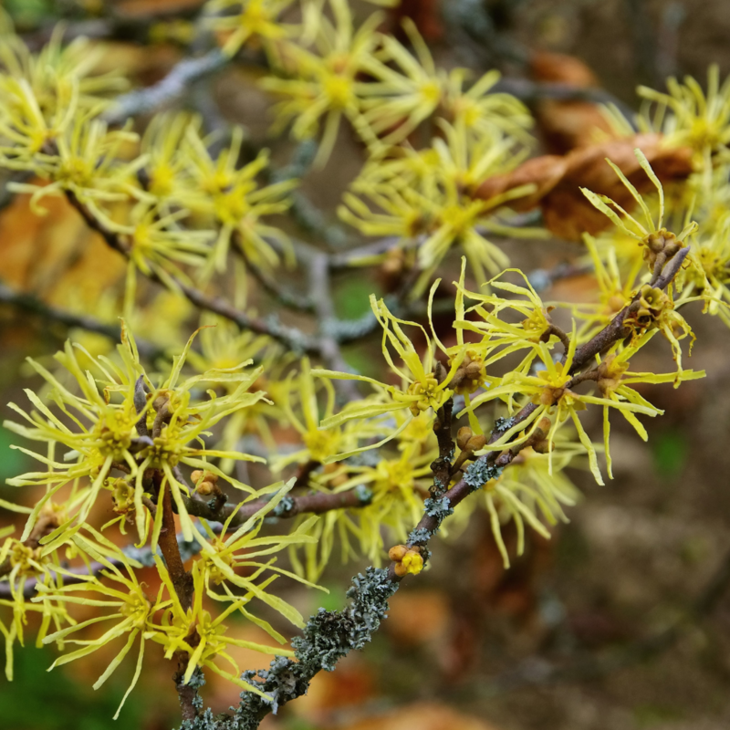 Common Witchhazel (Hamamelis Virginiana)
