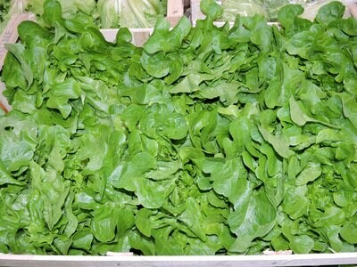 Eichblattsalat grün fränkisch