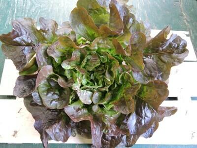 Eichblattsalat rot fränkisch