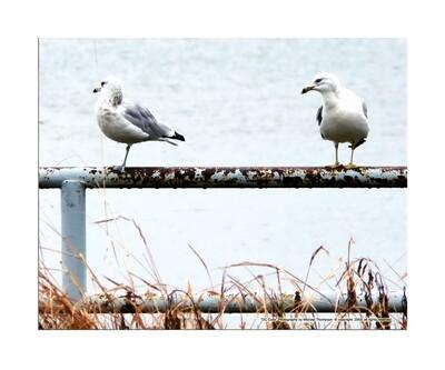 DC Gulls