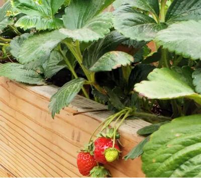GRAND BAC FRUITS ROUGES - Kit prêt-à-planter