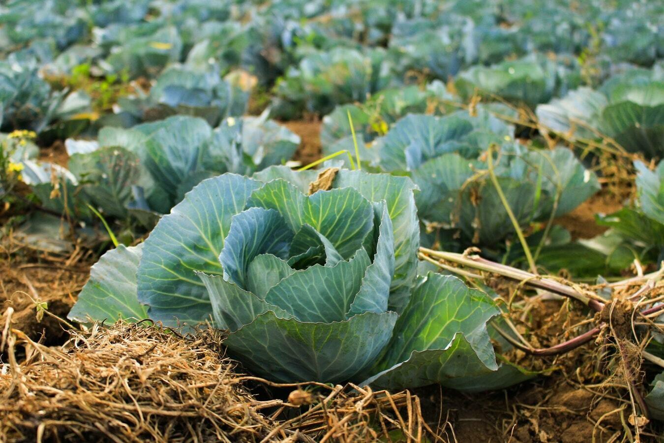 Cabbages - Summer - British