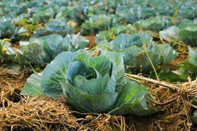 Cabbages - Hispi/Sweetheart (Portugal)
