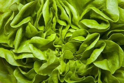 Lettuce - Curley (UK)