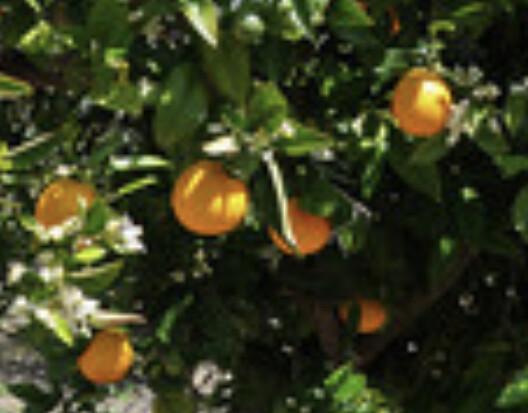 Ätherisches Öl Clementine
