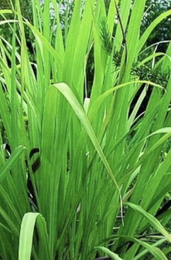 Ätherisches Öl Palmrosa Bio