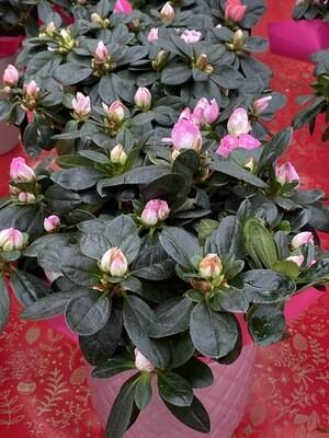 Azalée rose diamètre 12 + cache pot D 13 cm