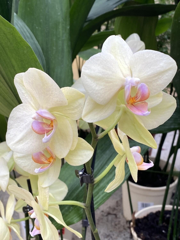 Phalaenopsis (Orchidée) jaune 2 tiges D 12 cm