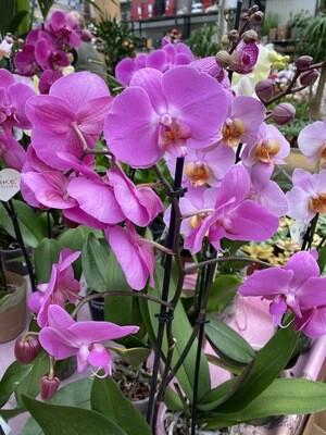 Phalaenopsis (Orchidée) rose 1 tige D 12 cm