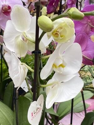 Phalaenopsis (Orchidée) blanche 1 tige D 12 cm