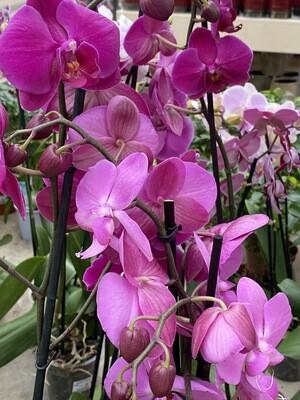 Phalaenopsis (Orchidée) rose 2 tiges D 12 cm