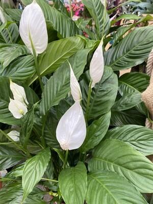 Spathiphyllum Ø 17