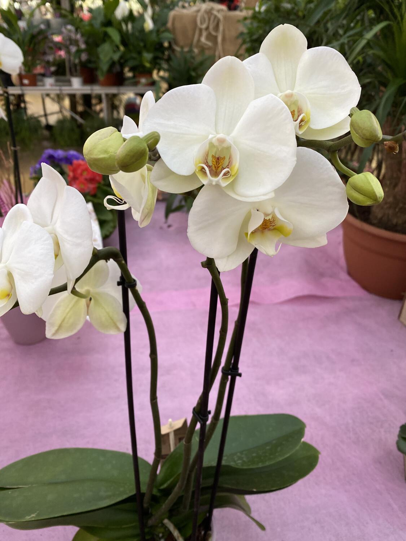 Phalaenopsis (Orchidée) blanche 2 tiges D 12 cm