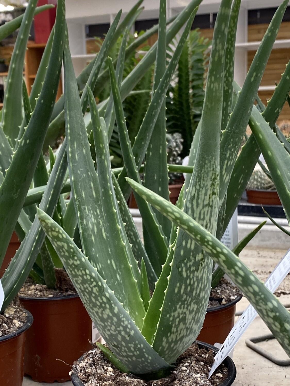 Aloe vera diamètre 12