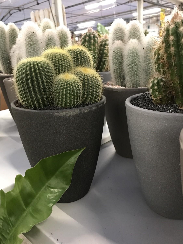 Cactus avec cache-pot  Ø 13cm