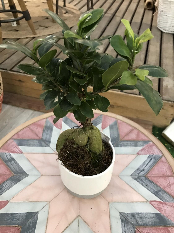 Ficus ginseng + cache-pot Ø 11cm