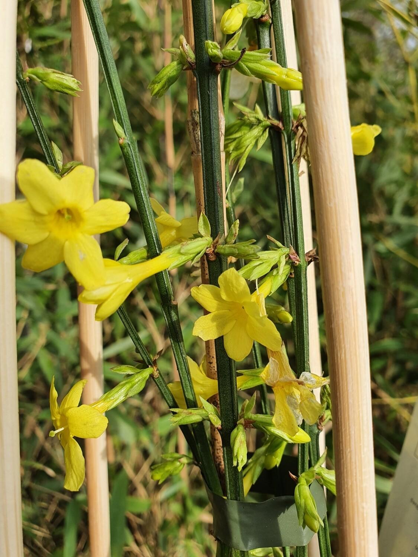 Jasminum nudiflorum pot 1,5 L