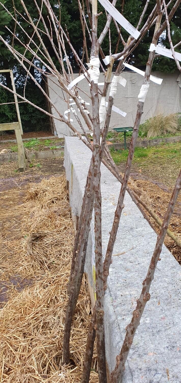 Prunus domestica 'Reine Claude Dorée', racines nues demi-tige