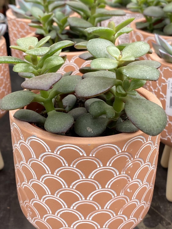 Succulente + cache-pot et trépied Ø 11 cm
