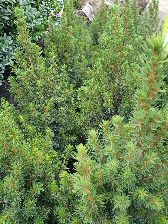 Picea conica pot de 4 L
