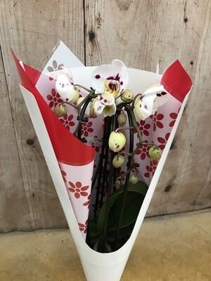 Orchidée cascade 3 tiges St Valentin