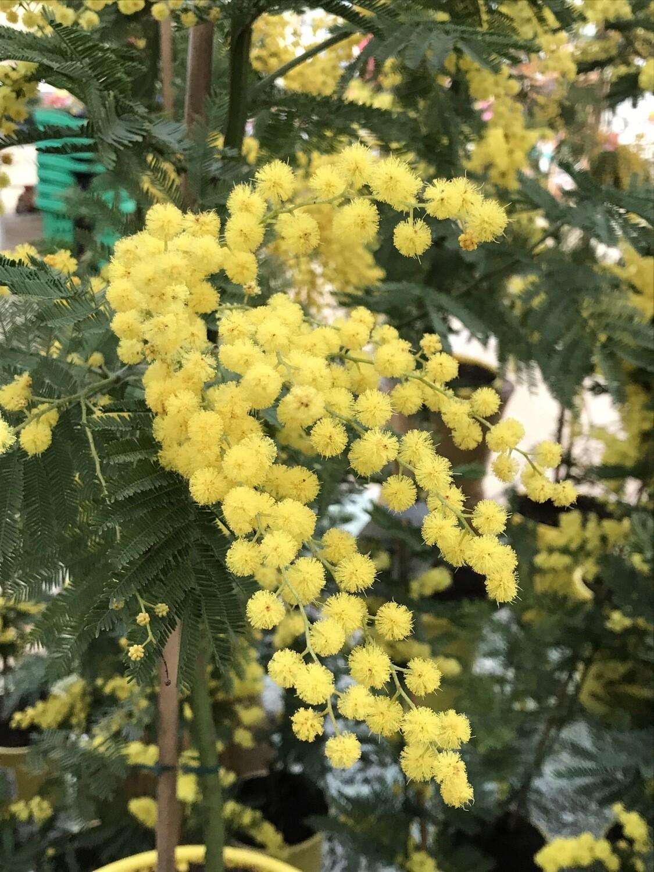 Mimosa ´Gaulois' pot de 15cm