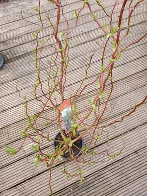 Salix 'Golden Curls', pot de 4 L