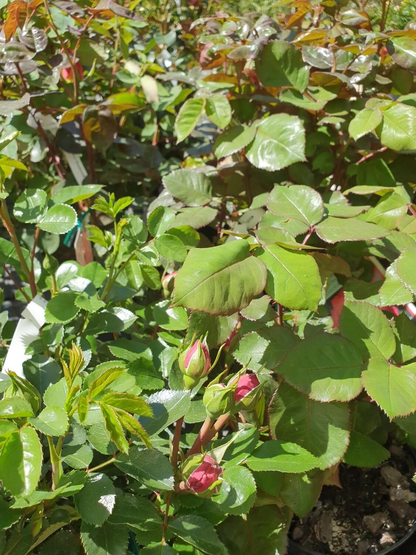 Rosiers buissons variés, pot de 4 L