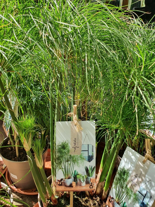 Cyperus papyrus Nofretete, pot de 24 cm