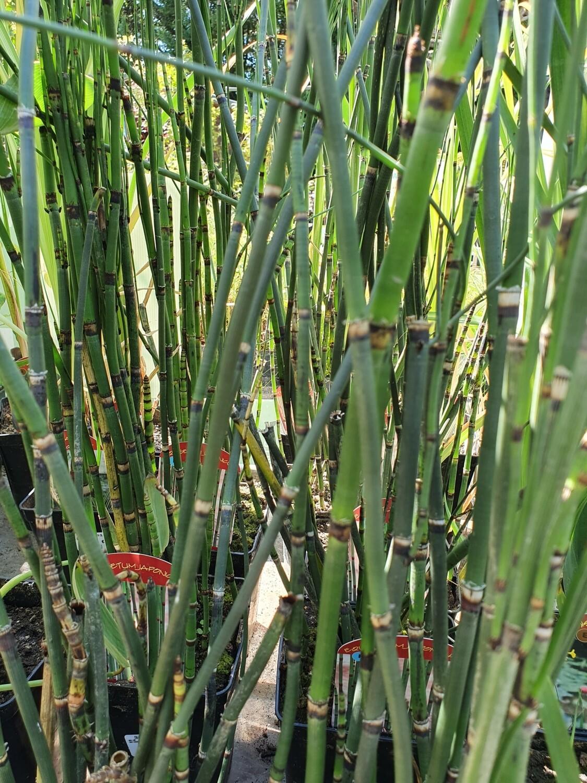 Equisetum Japonicum, pot de 3L