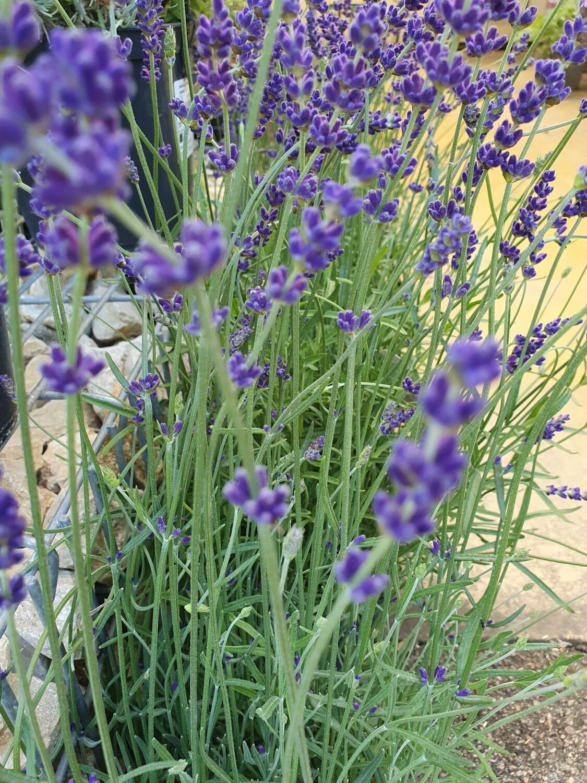 Lavandula angustifolia 'Twickel Purple', Richard Gray..,  pot de 3L