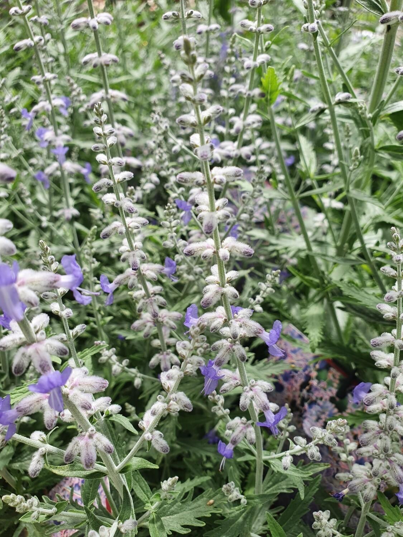 Perovskia atriplicifolia 'lacey blue', pot de 3 L