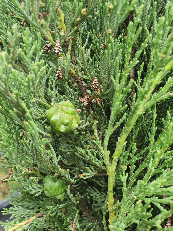 Cupressus sempervirens pyramidalis, 150/175, pot de 18 L