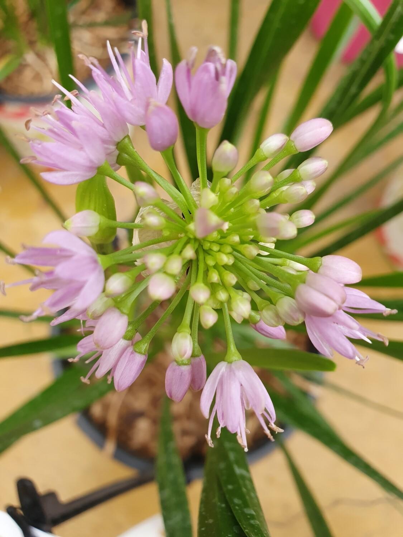 Allium Millenium, pot de 4,5L