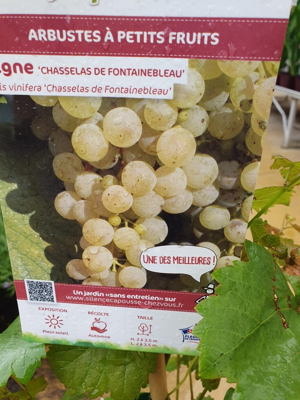 Vitis vinifera 'Chasselas de Fontainebleau', 100/150 cm, pot de 4L